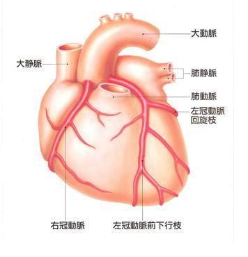 冠動脈の解剖図